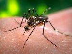 В Австралии заразили комара вольбахией, чтобы победить лихорадку денге.